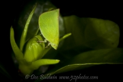 green-planthopper024